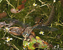 beetle vs dragonfly - Rhionaeschna californica - female