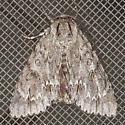 American Dagger Moth - Acronicta americana