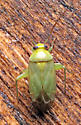 Bug - Taylorilygus apicalis