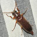 Fancy Click Beetle - Selonodon - male