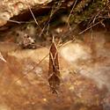 crane fly - Tipula?