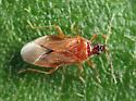 Minute Pirate Bug - Amphiareus obscuriceps
