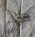 Spider with white border on abdomen - Dolomedes