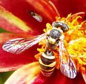 Small wasp (black with yellow markings) - Nomada texana