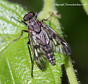 Snipe Fly - Rhagio mystaceus