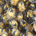 Spiderlings - Araneus diadematus