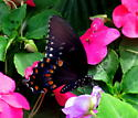 butterfly - Papilio troilus - female
