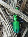 Six-spotted Tiger Beetle - Cicindela sexguttata - male - female