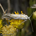 Unknown moth - Ypsolopha angelicella