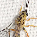 Ichneumon Wasp - Lycorina glaucomata - female