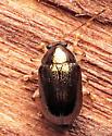 Beetle - Rhabdopterus