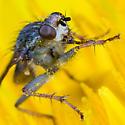 Fly on Dandelion - Scathophaga