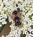 Eristalis arbustorum - female