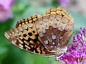 Great Spangled Fritillary (Speyeria cybele) ?? - Speyeria cybele