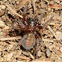 Hacklemesh Weaver - Callobius bennetti