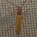 Longhorn Beetle: 2011.06.16.29388 - Aneflomorpha subpubescens