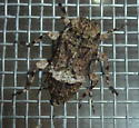 Unknown Beetle - Leptostylus transversus