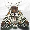 9286 Harris's Three Spot - Harrisimemna trisignata