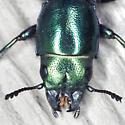 Bark-gnawing Beetle - Temnoscheila acuta