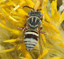 Gray Bee - Epeolus