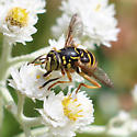Syrphid Fly - Spilomyia citima
