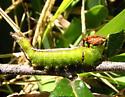 Strange Caterpillar - Schizura errucata