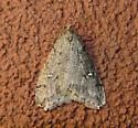 White-spotted Cankerworm Paleacrita merriccata #6663 - Paleacrita merriccata
