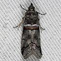 unknown moth - Acrobasis tricolorella
