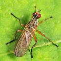 fly - Scathophaga
