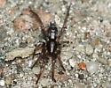 Spider - Herpyllus ecclesiasticus
