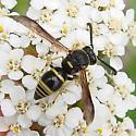 wasp - Euodynerus foraminatus - male