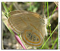 Helicta Satyr - Neonympha helicta - Neonympha helicta - female