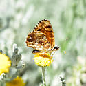 Butterfly? - Phyciodes