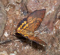 Diurnal Geometrid at seep - Paota fultaria - male