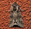 Psaphida thaxterianus