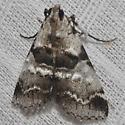 Watson's Tallula Moth - Tallula atrifascialis