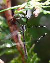 Phantom Crane - Bittacomorpha clavipes