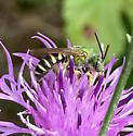 Agapostemon - virescens? - Agapostemon - male