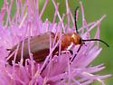 Beetle on Thistle