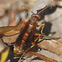Wasp ID ??? - Polistes rubiginosus - male