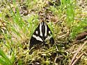 Black and white moth - Arctia plantaginis
