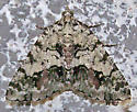 Macaria graphidario - Macaria graphidaria