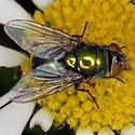 Blow Fly IMG_5452 - Lucilia illustris - female