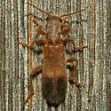 Beetle - Cymatodera punctata