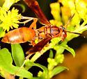 Paper Wasp - Polistes rubiginosis? - Polistes - female