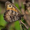Butterfly - Oeneis chryxus