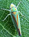 Leafhopper - Graphocephala fennahi