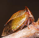 Hopper ID - Stictocephala albescens