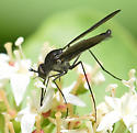March Fly Like 2 - Thevenetimyia - male