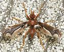 bat wing bug - Pyrgota undata